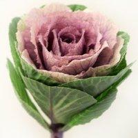 Brassika
